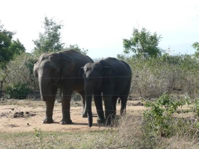 Elephants at boundary of Udawalawa sanctuary