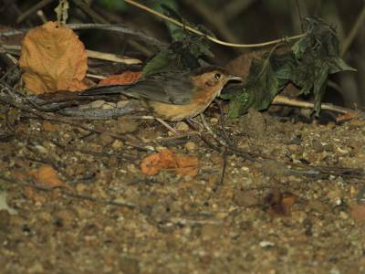 Brown capped babblers were busy foraging in the garden….