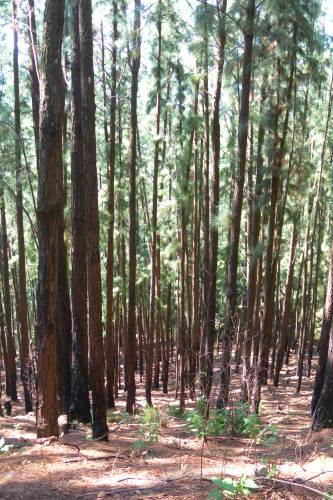 MAN MADE JUNGLE - Pine forest