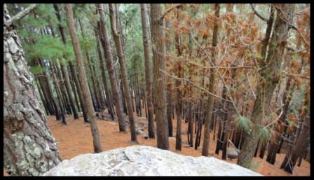 The steep path through the pine forest which leads to the top of Bambarakanda falls…