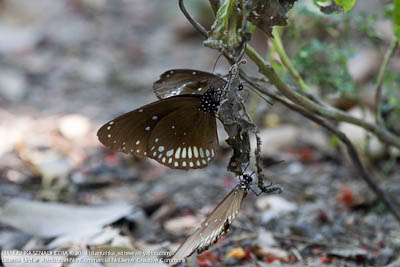 Common Indian Crow Euploea core asela