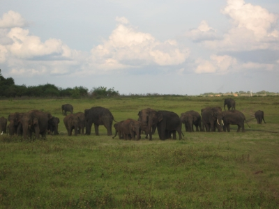 A herd of elephants - Kaudulla National Park