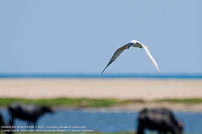 A tern hovering looking for a catch
