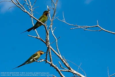 There were plenty of Blue-tailed bee-eaters.
