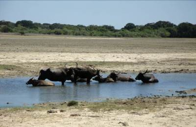Big fish (buffaloes) in a small pond