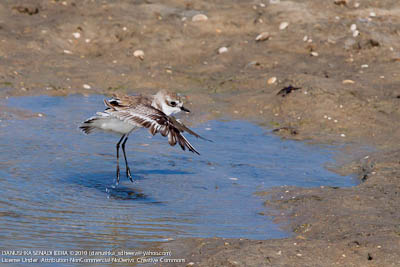A juv. Lesser sand plover was bathing.