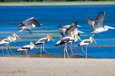 There were plenty of Pelicans and Painted storks.