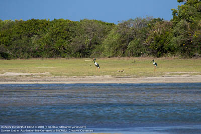 Unmistaken pair of Black-necked Strokes. A very rare sighting. They were far away in Yakala Lagoon.