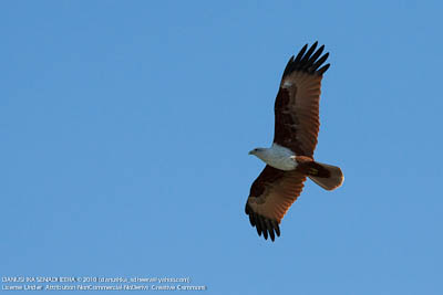 There were plenty of raptors. (Brahminy Kite)