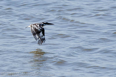 Managed to capture a flying Pied Kingfisher
