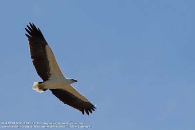 Flying giants (White bellied Sea Eagle)