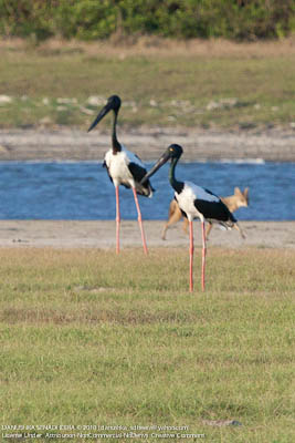 A pair of Black-necked Storks