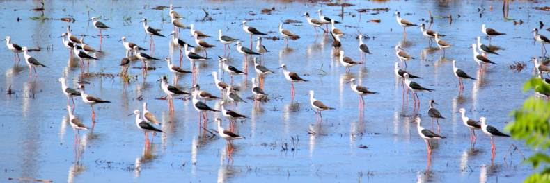 A flock of Black-winged stilts