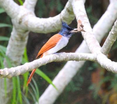 Asian Paradise Flycatcher, female
