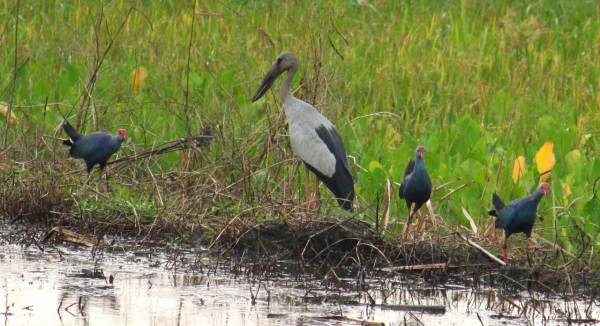 Busy-looking Purple Swamphens and an Asian Openbill