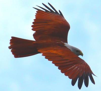 The majestic Brahminy Kite