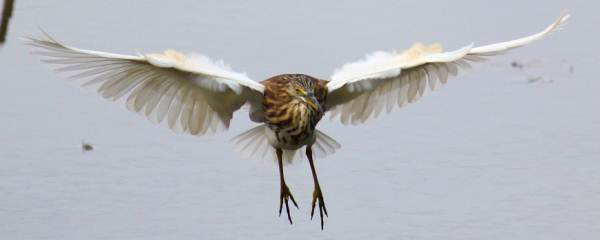 An Indian Pond Heron about to make a landing