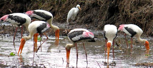 A flock of Painted Storks