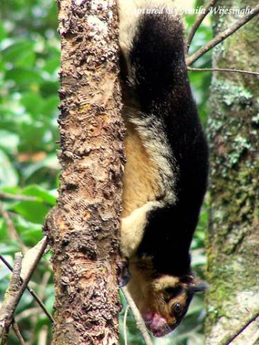 I tried to get closer.  (Ceylon Giant Squirrel) / (Ratufa macroura)