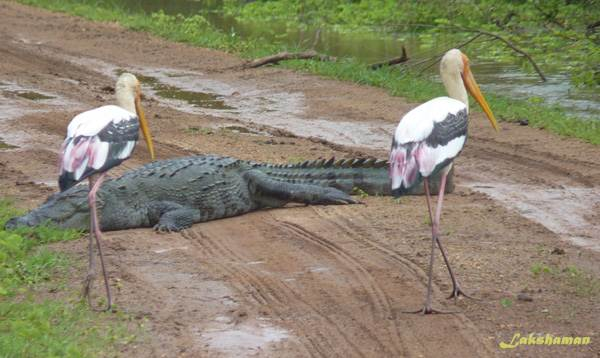 Crocodile road block for painted storks