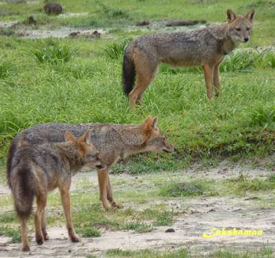 Group of  jackal attacking to a wild boar
