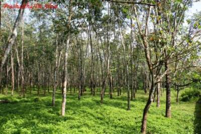 many stretches of rubber plantations.