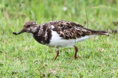 Ruddy Turnstone (Arenaria interpres) -Migrant