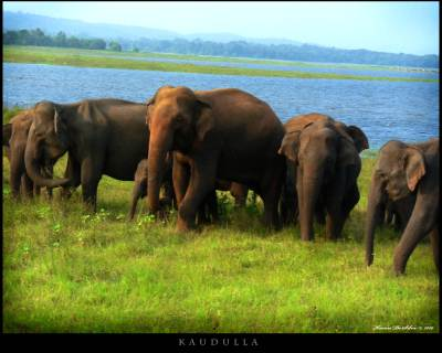Elephants at Kaudulla National Park