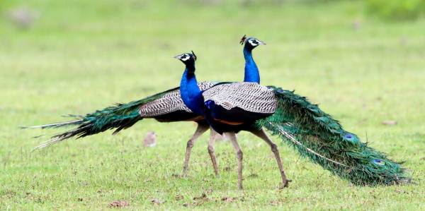 Very proud-looking Peacocks (Indian Pea Fowl)