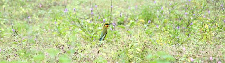 Blue-tailed Bee-eater (Merops philippinus) in a lovely surrounding - Migrant