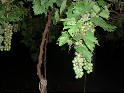 Jaffna Grapes