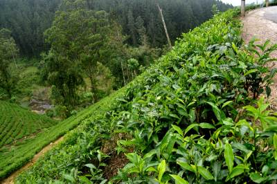 Tea estates  ….