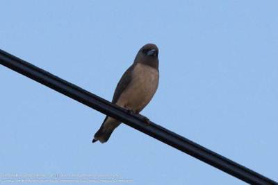 Indian Swiftlet (Please correct me if I m wrong)