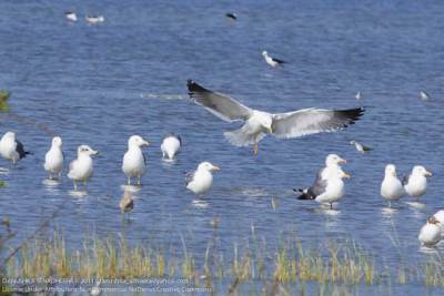 Gulls (Herring Gull, Yellow-legged Gull and Brown-headed Gull)