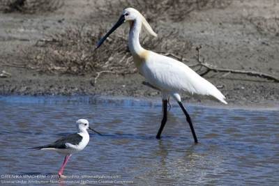 Eurasian Spoonbill and a Black-winged Stilt