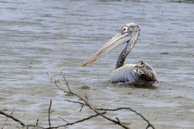 A spotted billed pelican