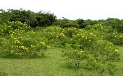 Ranawara Flowering in Yala