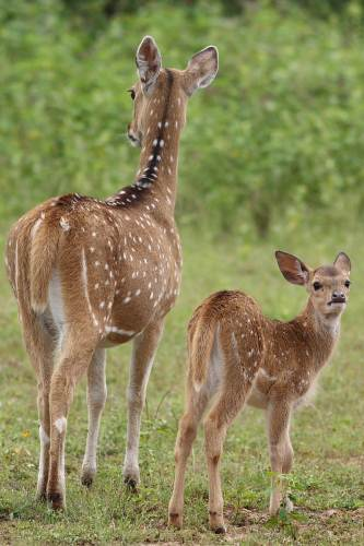 Spotted deer mother and calf - Yala national Park