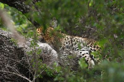 Leopard at Yala