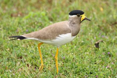 Yellow Wattled Lapwing - Yala National Park