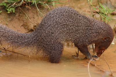 Mongoose fishing - Yala National Park