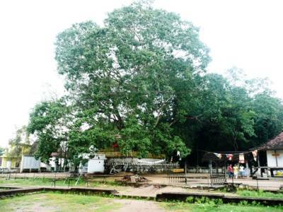 The Bo – tree - more than 2300 years old