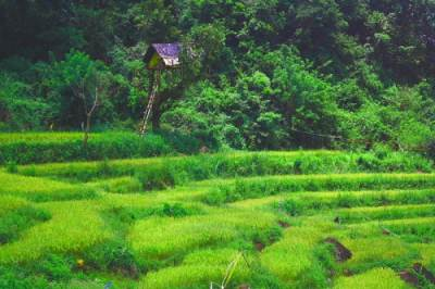 Path through paddy fields and chena cultivations