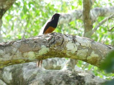 White rumped shama singing at opposite Kokmote bungalow