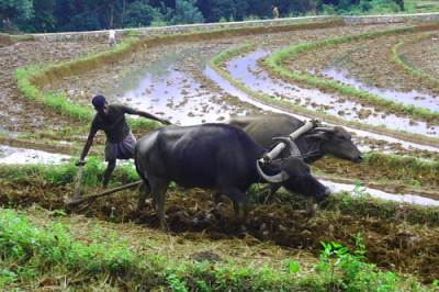 Traditional plough using bulls