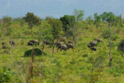 A herd of elephant gracing
