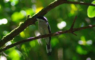 Bar tailed flycatcher