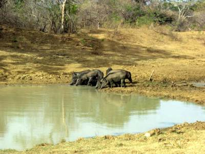 Flock of wild pigs drinking water