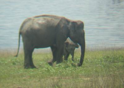 Mother elephant and the cub