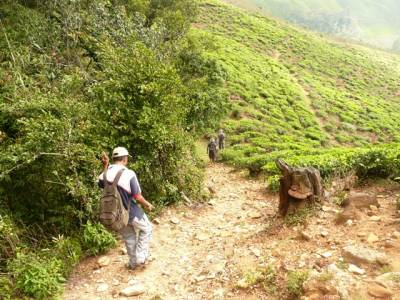 This time the trail was laid along the margin/ perimeter of a tea plantation
